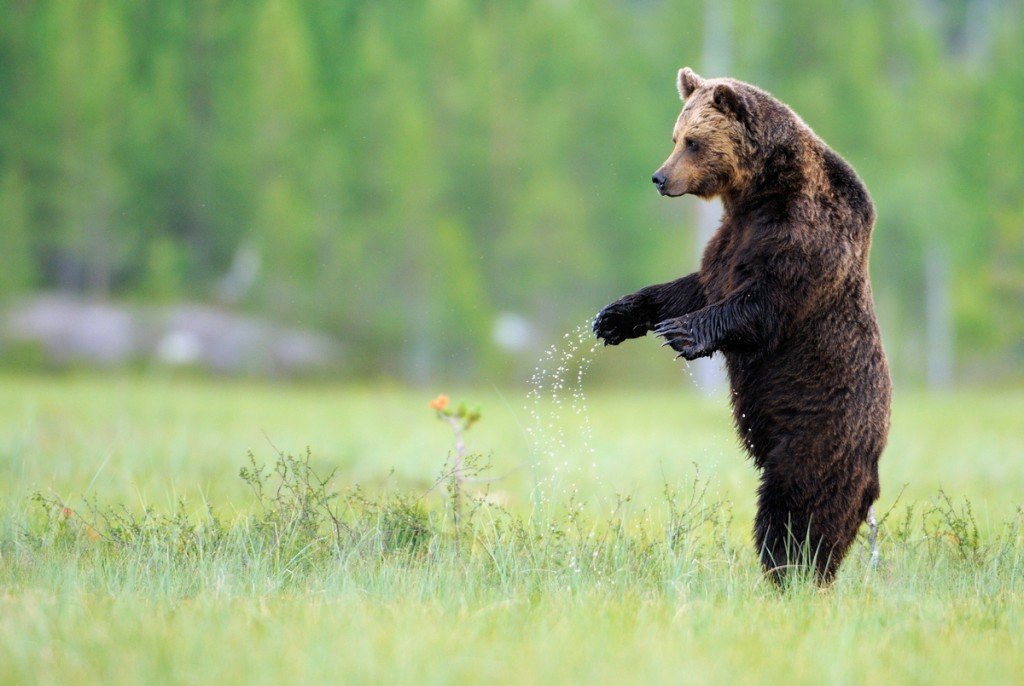 The brown bear is an important element of European nature and cultural heritage. Its numbers were severely reduced in a large part of Central and Southern Europe in the 19th century, even extinct in some parts. Nowadays people's attitude towards this large carnivore is shifting.