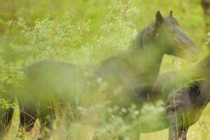 Wild horses, Letea forest, Danube Delta, Romania.