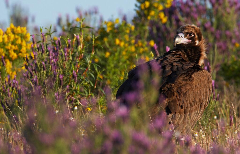 Black Vulture (Aegyptus monacha), classified as Near Threatened (NT) on the IUCN Red List.
