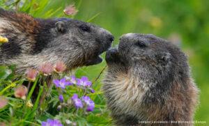 Marmots feeding on flowers.