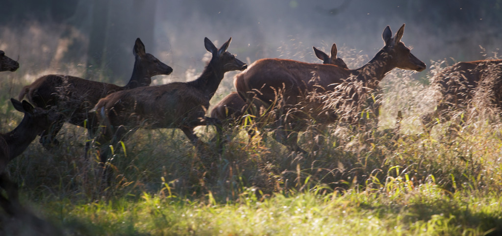 Until the end of 2016, 36 red deer were released in the Rhodope Mountains rewilding area. The releases of nine red deer in the nature reserve of Studen Kladenets this January, and seven in Tintyava mark a further step in a series of successful reintroductions.