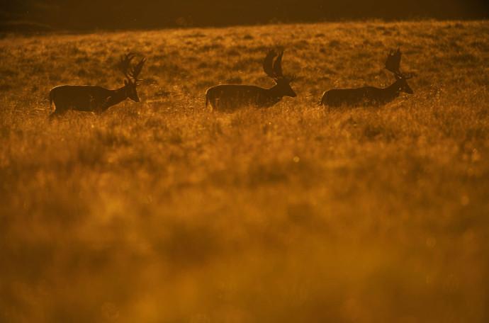 Fallow deer stags in evening light