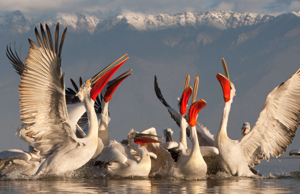 The Dalmatian pelican has made a very successful comeback in the last 30 years, thanks mainly to nature protection measures.