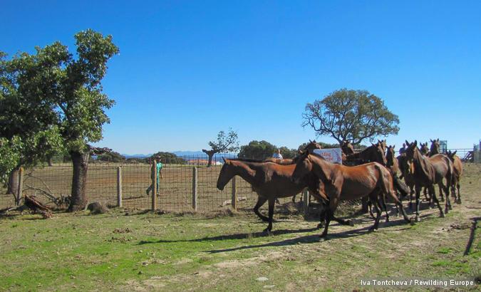 Retuerta horse release in Western Iberia, 7 Oct 2013.