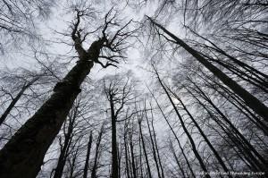 Beech/ Fir forest, Fagus sylvatica/ Abies alba, Poloniny N.P, Slovakia