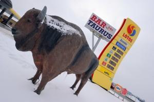 European Bison, Bos bonasus, Poland