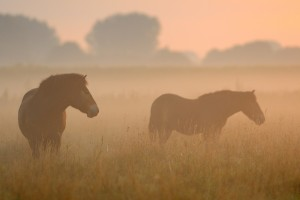 Exmoor pony, Keent NR, The Netherlands