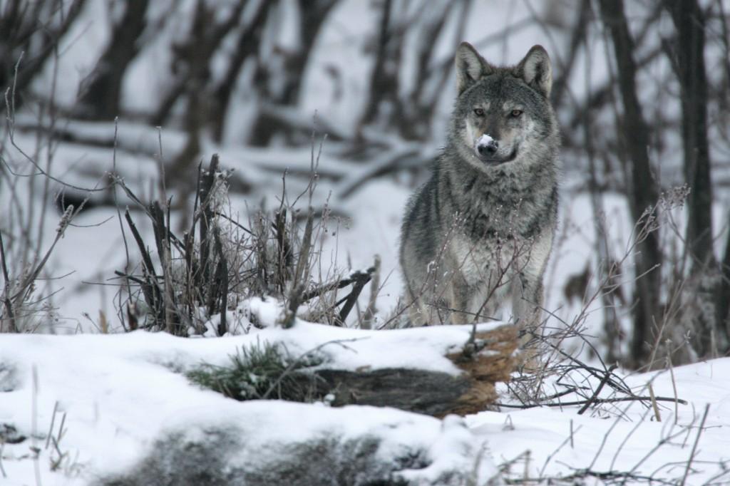 Wild Carpathian Wolf photographed in Bieszczady Mountains.