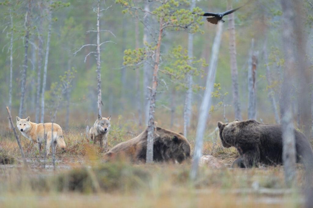 Eurasian wolf, Canis lupus, Eurasian brown bear, Ursus arctos and Raven, Corvus corax in Kuhmo, Finland.
