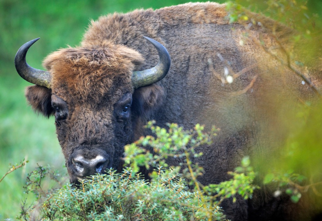 Bison (Bos Bonasus), Kennemerduinen National Park, Kraansvlak, The Netherlands. Enclousure in a fenced reserve, 250 hectar, in Kennemerduinen National Park.
