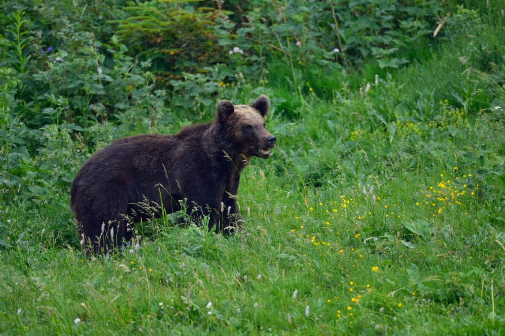 Eurasian brown bear in the Velebit mountains, Croatia
