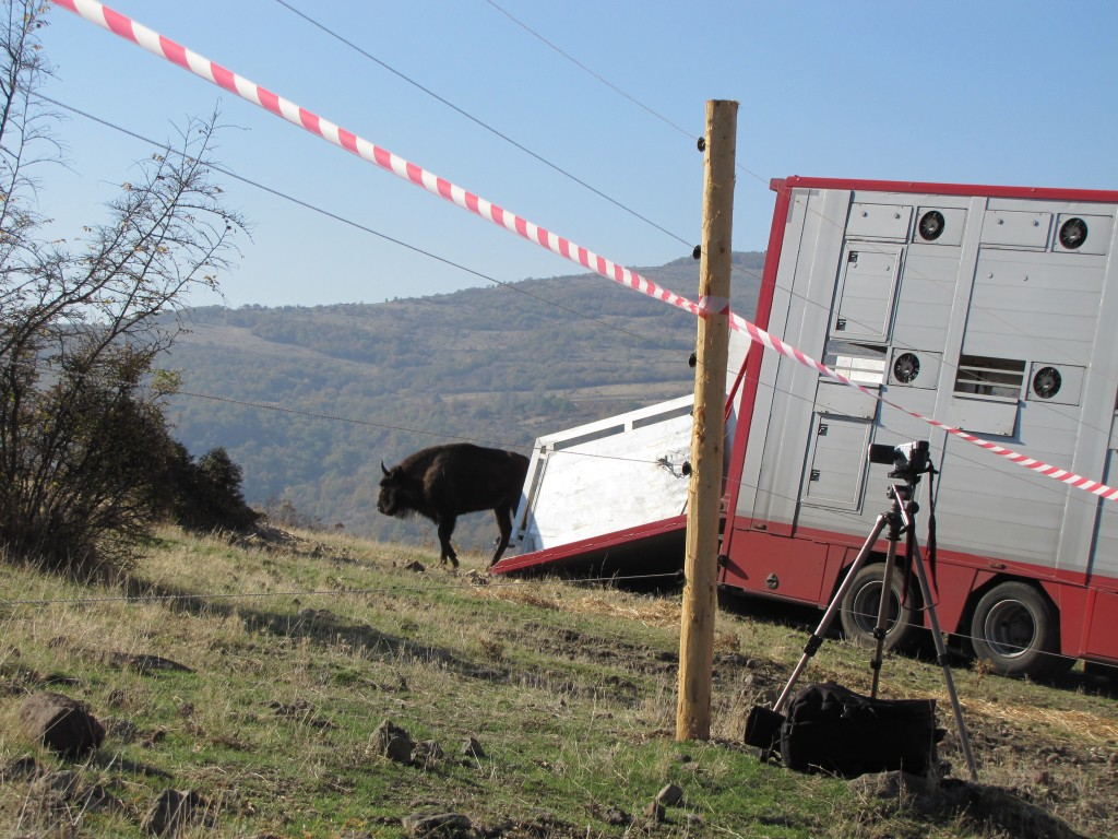The arrival of the European bison in the Eastern Rhodopes