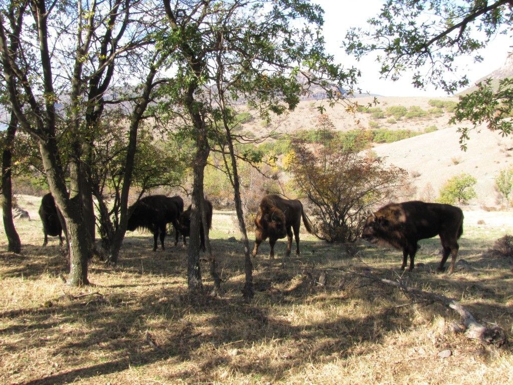 European bison in the Eastern Rhodopes