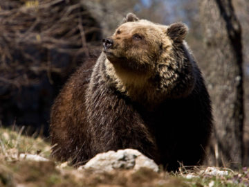 Rewilding work in the Central Apennines is now focused on a range of essential actions to conserve and boost the area's population of Marsican brown bears.