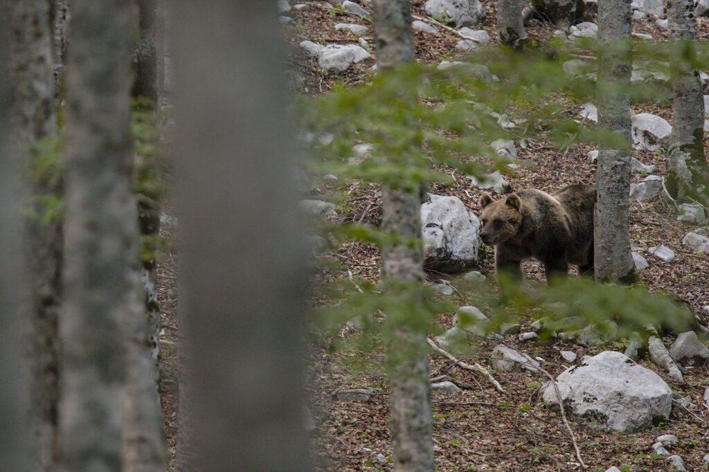 Marsican / Abruzzo brown bear (Ursus arctos marsicanus) adult female in beechwood. Critically endangered subspecies. Central Apennines, Abruzzo, Italy. September 2010
