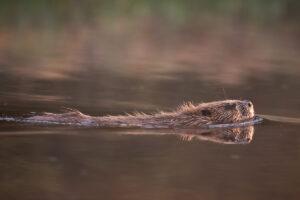 European beaver (Castor fiber) swimming in river, Bergslagen, Sweden.