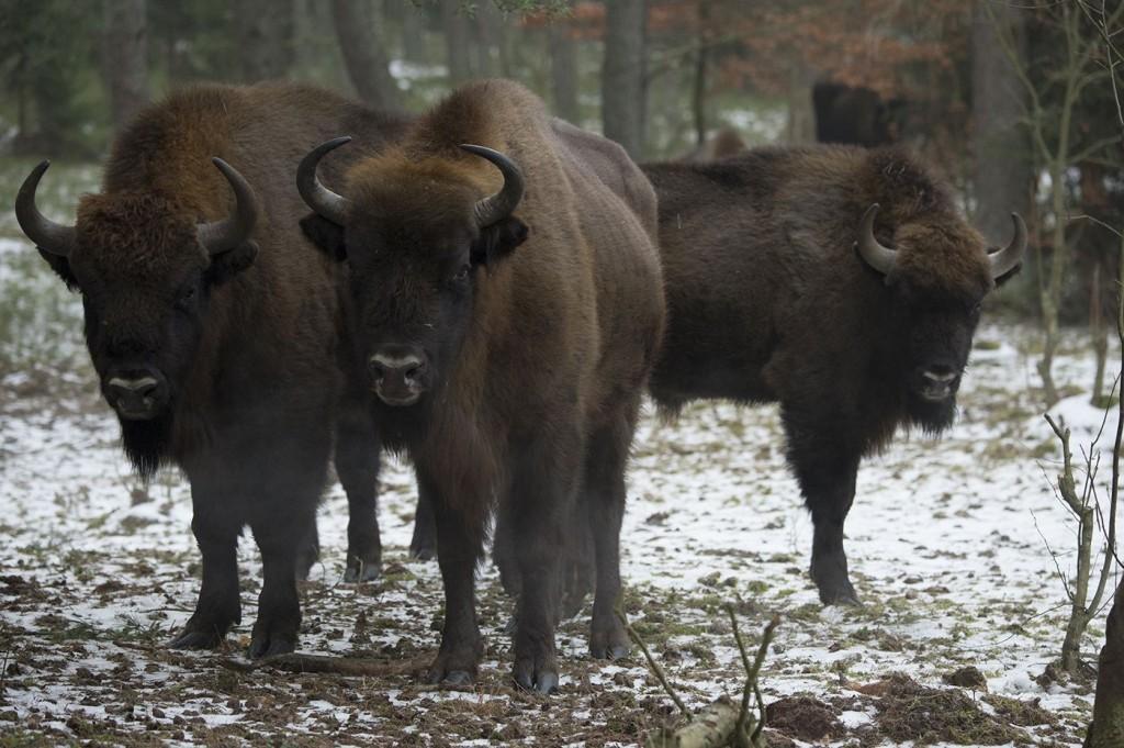European bison in West Pomeranian region of NW Poland