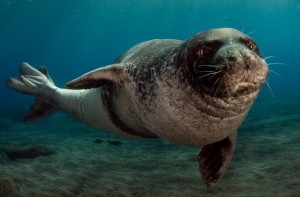 Numbering around 700 individuals, the Mediterranean monk seal population is very small and still faces numerous threats.