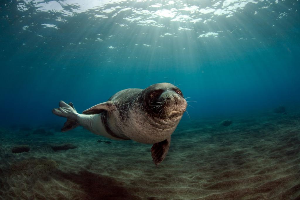 "Mission: Monk Seal .Desertas Islands - Deserta Grande - Madeira, Portugal. August 2009..Monk Seal (Monachus monachus), male identified by parque Natural da Madeira as ""metade""."