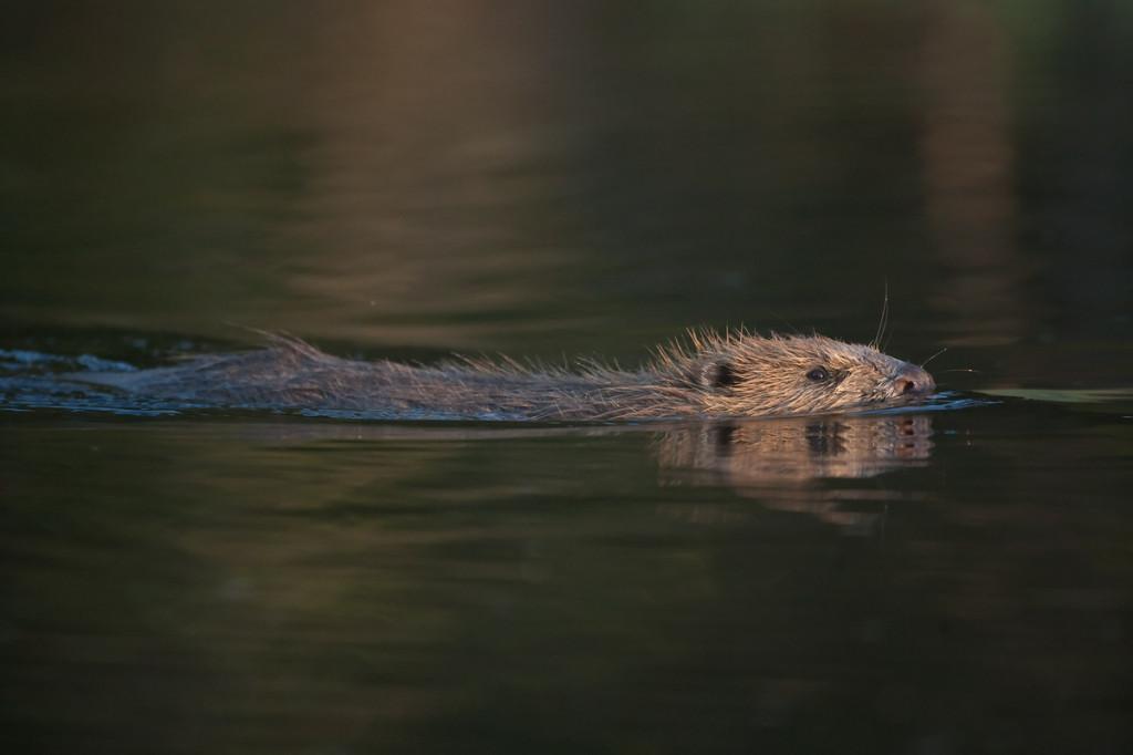 European beaver (Castor fiber).