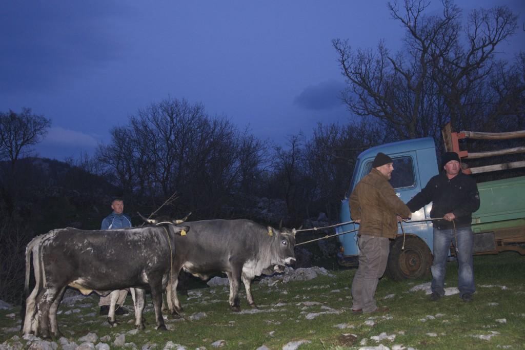 Boskarin cattle on their way to Velebit