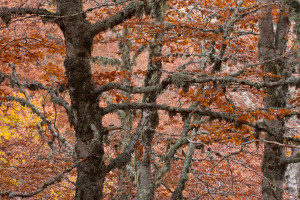 Details of hundreds-year-old Beech (Fagus sylvatica) forest in the Abruzzo National Park. Abruzzo, Italy. October 2008