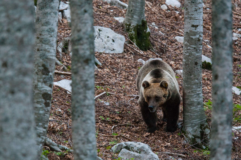 Marsican / Abruzzo brown bear adult female in beechwood. Critically endangered subspecies