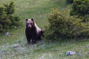 Rewilding work will focus on a range of essential actions to conserve and boost the area's population of Marsican brown bears.