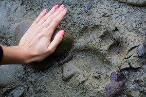 Brown bear footprint spotted while walking on a bear trail.