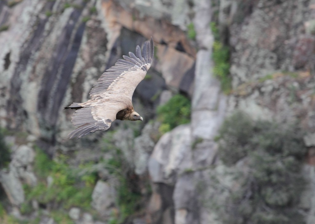 Griffon vulture in Western Iberia