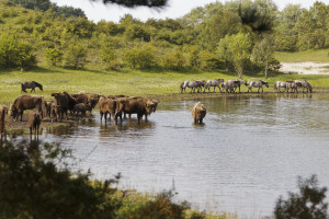 Natural grazing by bison and konik herds in Kraansvlak, The Netherlands.