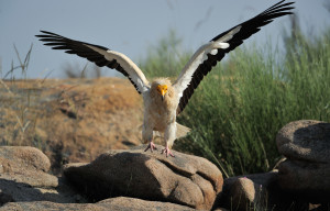 Egyptian vulture nesting in Faia Brava nature reserve, in the Western Iberia rewilding area, Portugal.