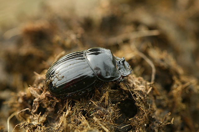 Dung beetle (Copris lunaris)