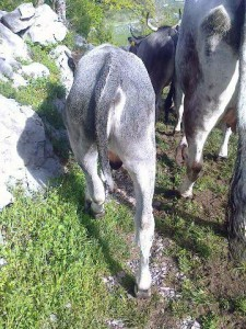 The Boskrarin bull in Velebit that survived the first attack of wolves