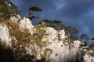 Black pine, endemic subspecies, growing on a ridge in Domogled Valea Cernei National Park
