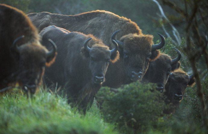 Bison (Bos Bonasus), Kennemerduinen National Park, Kraansvlak, The Netherlands. Enclousure in a fenced reserve, 250 hectar, in Kennemerduinen National Park.