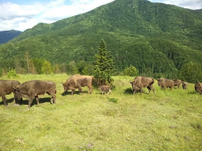 The newborn bison is already exploring the beautiful nature of the Southern Carpathians rewilding area.