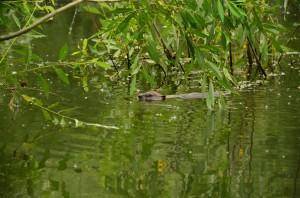 Beaver in the Danube Delta