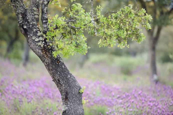 Dehesa forests with Holm oak (Quercus ilex) and French lavender (Lavandula stoechas) in Campanarios de Azába Reserve