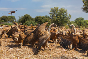 Griffon vultures in Campanarios de Azaba Biological Reserve