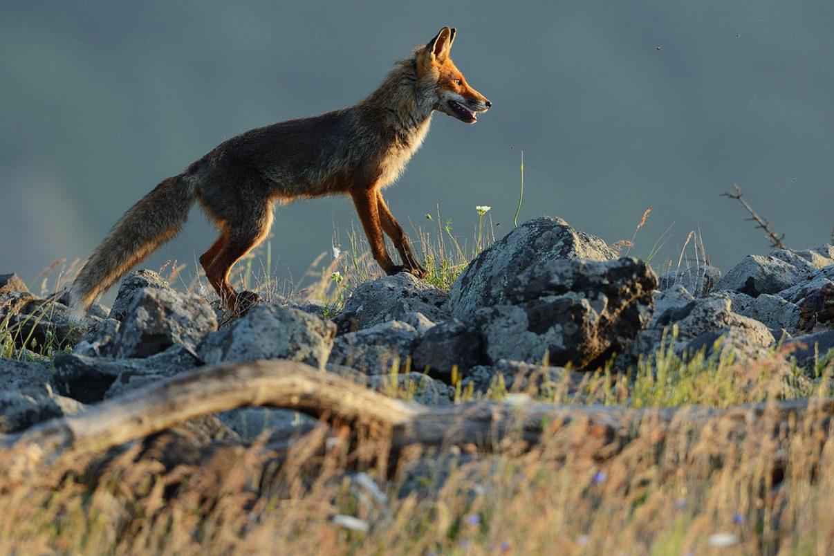 Eurasian red fox, Vulpes vulpes, at vulture feeding site, Madzharovo, Eastern Rhodope mountains, Bulgaria