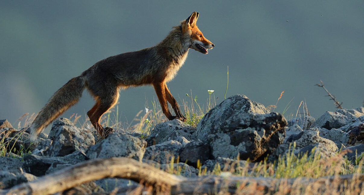 Eurasian red fox, Vulpes vulpes, at vulture feeding site, Madzharovo, Eastern Rhodope mountains, Bulgaria