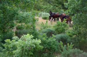 Retuertas horses living wild in the Campanarios de Azaba Reserve