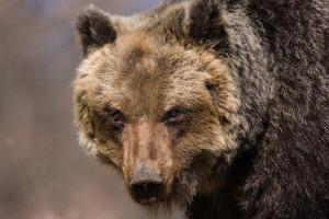 Marsican / Abruzzo brown bear female. Central Apennines, Abruzzo, Italy. March 2009