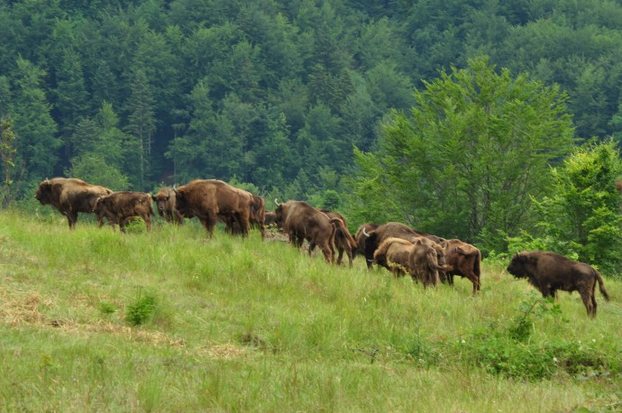 European bison in the Tarcu Mountains,, Romania