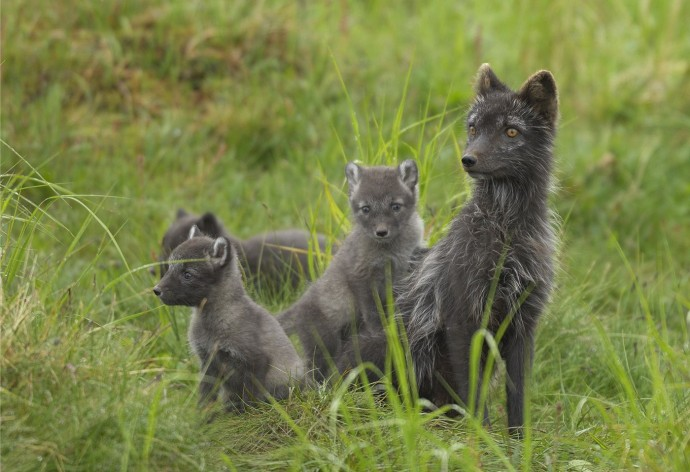 The Arctic fox attracts new guests to the mountain station.