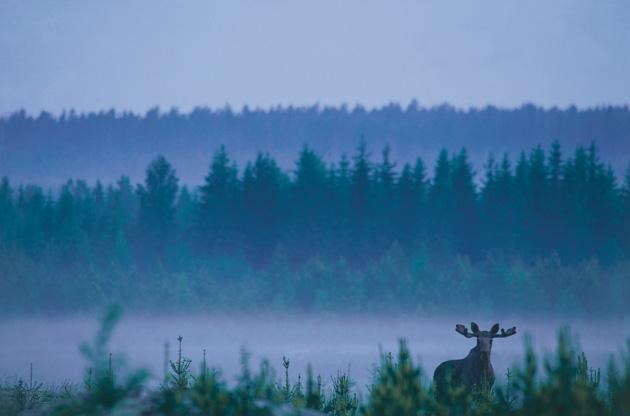 Moose watching in Sweden.