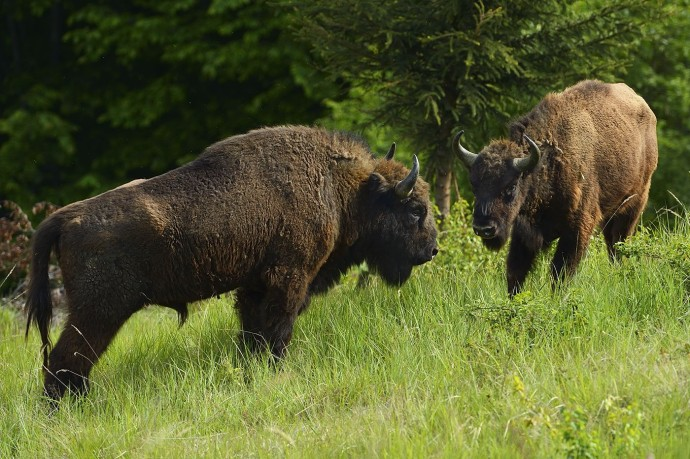 European bison ( Bison bonasus).