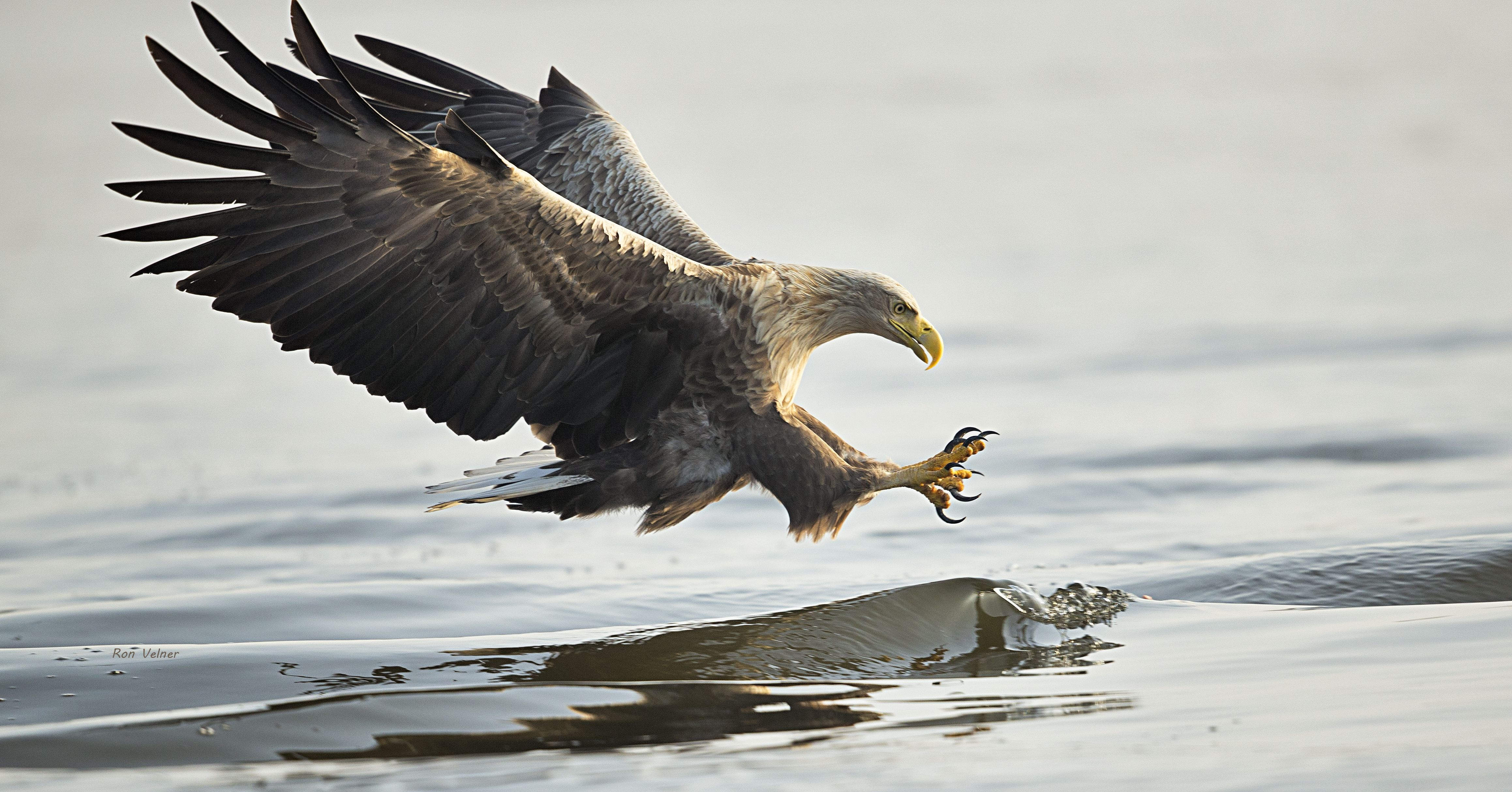 The Rewilding Oder Delta team is supporting the comeback of white-tailed eagles by working to restore fish populations and fish migration in the Stettin Lagoon and associated rivers.
