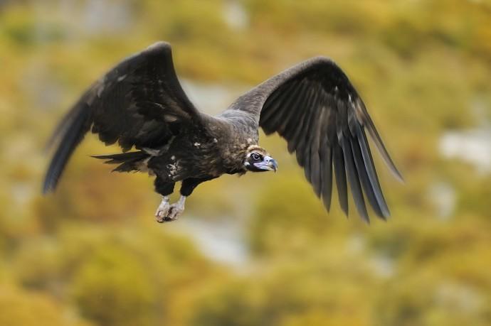 Black vulture in flight, Rhodope Mountains rewilding landscape, Bulgaria.